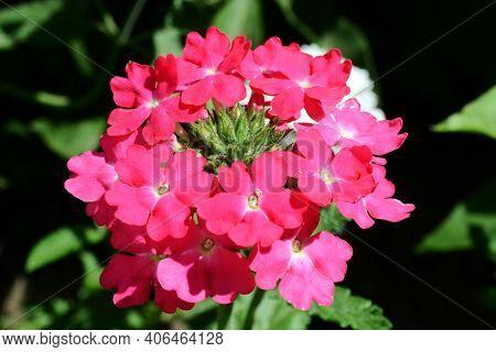 Pink Verbena Hybrida Blooming. Verbena Bonariensis Flowers Argentinian Vervain Or Purpletop Vervain,