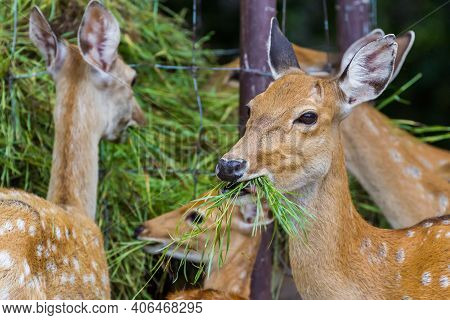 Young Whitetail Deer Eating Grass