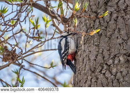 Little Woodpecker Sits On A Tree Trunk. The Great Spotted Woodpecker, Dendrocopos Major
