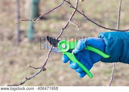 The Gardener Cuts The Branches Of The Trees In The Garden. Pruning Fruit Trees.