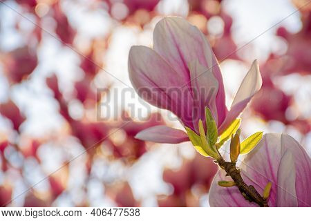 Magnolia Blossom On A Sunny Springtime Day. Pink Flowers On The Twigs In Bright Light. Harmony And B