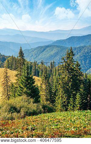 Coniferous Trees On The Grassy Hillside Meadow. Beautiful Summer Landscape In Mountain. Hills Rollin