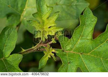 Brinjal Or Begun Gach And Scientific Name Is Solanum Melongena L. And The Family Of Solanaceae