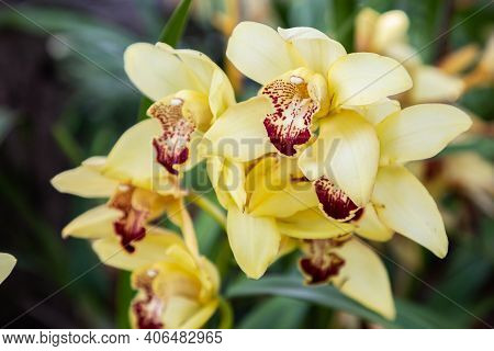 Cymbidium Orchid Flower. Colorful Flower. Flower In Garden At Sunny Summer Or Spring Day. Flower For