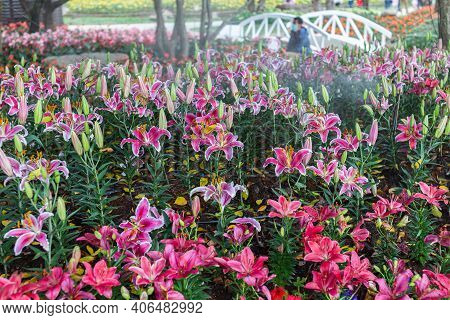 Lily Flower. Flower In Garden At Spring Day. Flower For Decoration And Agriculture Concept Design. C
