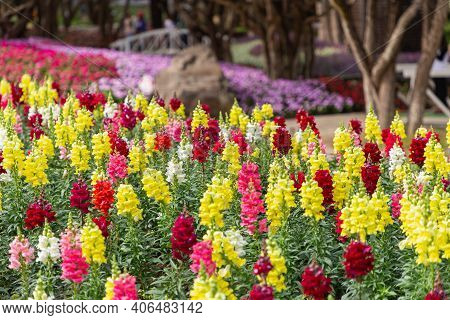 Snapdragon Flower. Colorful Flower. Snapdragon Flower In Garden At Spring Day. Flower For Decoration