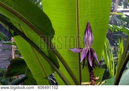 Banana Blossom End Of Banana Young Fruit Under Big Green Leaves Of The Tree. Thai Agricultural Horti
