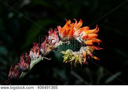 Closeup For Kalanchoe Blossfeldiana Or Flaming Katy Garden Or Kalanchoe Tomentosa Baker. Crassulacea
