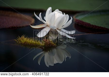 Flower Victoria Amazonica, Victoria Amazonica, White Color Between Floating Round Leaves In The Shap