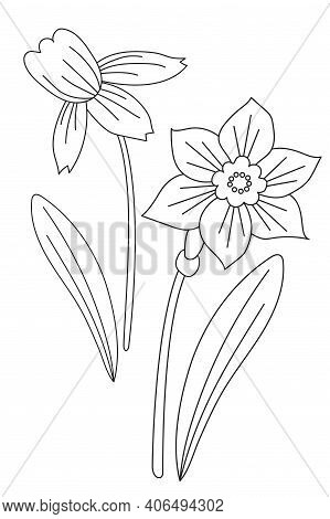Narcissus. Spring Flower Narcissus - Flower, Bud And Leaves. Vector Drawing. Black Line, Outline. Wh