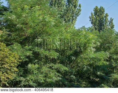 A Bright Emerald Sea Of Acacias, Poplars And Elms Formed A Kind Of Beautiful Embossed Carpet, Photog