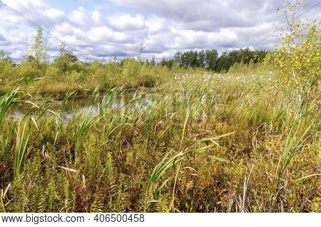 Swamp Landscape Pond With Banks Of Cattail, Cranberry And Other Swamp Plants Against A Cloudy Sky.