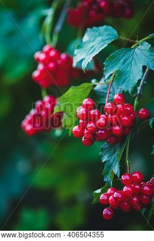 Red Viburnum Berries On A Branch, Close Up