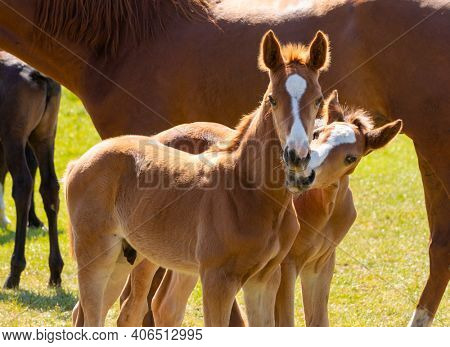 Two cuddling chestnut colored foals