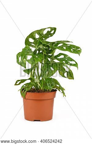 Small Tropical Houseplant With Botanic Name Monstera Adansonii, A Vine Houseplant In Flower Pot Isol