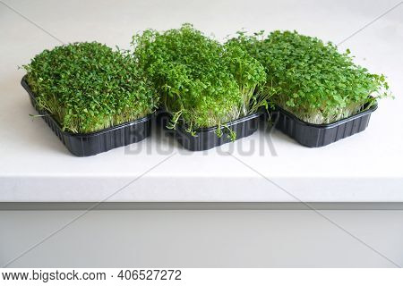 Trays With Fresh Microgreen Sprouts Stand On The Kitchen Table