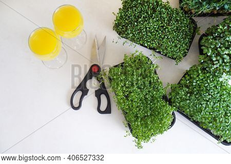 Trays With Microgreens, Scissors And Juice Standing On The Table