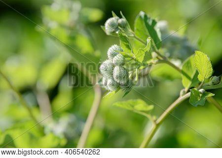 Burdock Arctium Lappa Thorny Flower Field. Food And Drinks Ingredient. Fresh Medicinal Plant. Season
