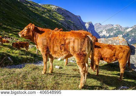 Cows In Alpine Pasture, Pralognan La Vanoise, French Alps