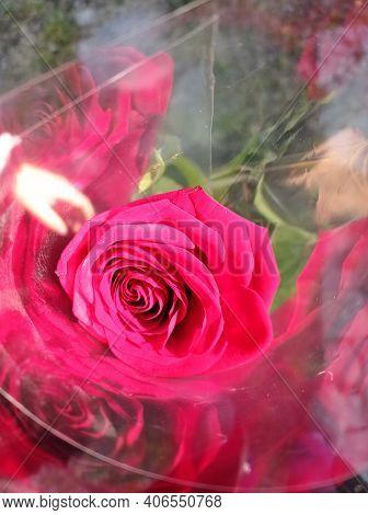 One Red Rose . Red Gold Rose In Light Polyethylene Plastic .