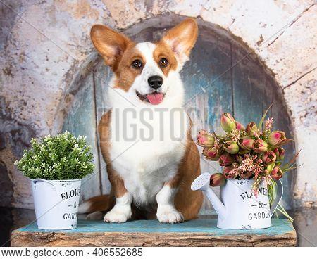 Dog breed welsh corgi cardigan sits on the grey background