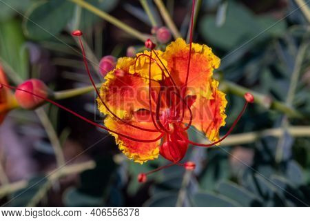 A Macro Red And Orange Flower The Poinciana, Peacock Flower, Red Bird Of Paradise, Mexican Bird Of P