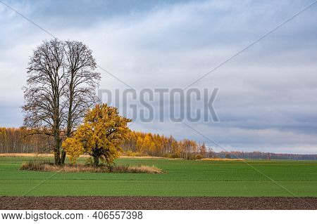 The Landscape Of Two Autumn Trees - One Is Bare And Old, While Another Dressed Up In Yellow Leaves.