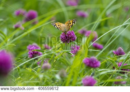 Butterfly On A Flower. Beautiful Lady Butterfly Vanessa Cardui, Red Clover. Orange-black And White B