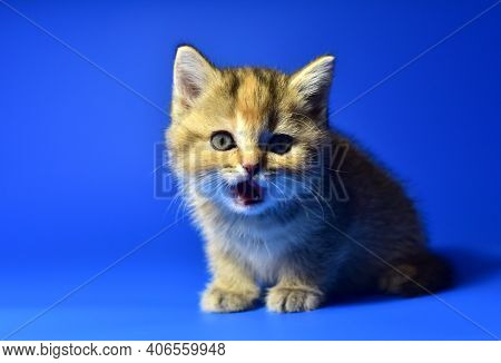 Small Kitten Of The British Chinchilla Breed On Blue Background. Little Baby Cat. The Cat Felis Catu