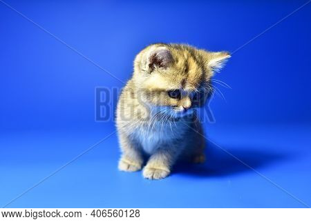 Small Kitten Of The British Chinchilla Breed On White Background. Little Baby Cat Lick. Babycat With