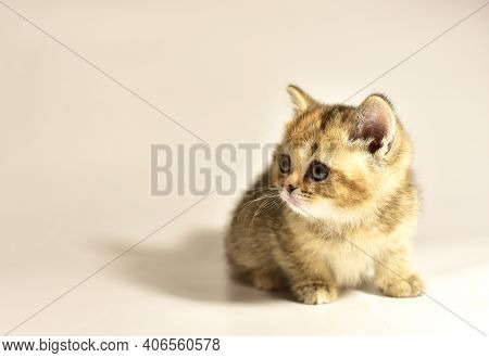 Small Kitten Of The British Chinchilla Breed. Little Baby Cat On White Background. Babycat. Family C