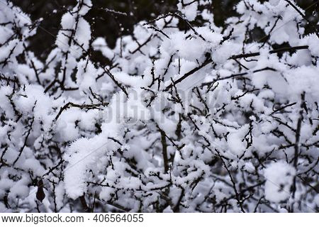 Soft Snow On Shrub Branches, Perfect Winter Background