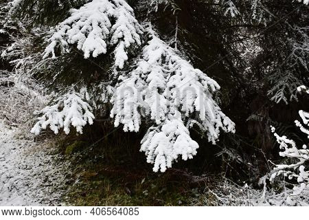 Soft White Snowy Spruce Tree Branches Close Up