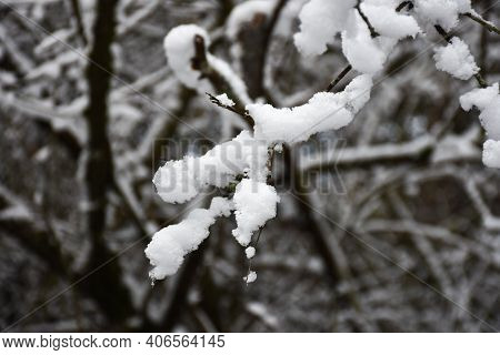 Tree Twigs With Newly Fallen Soft Snow