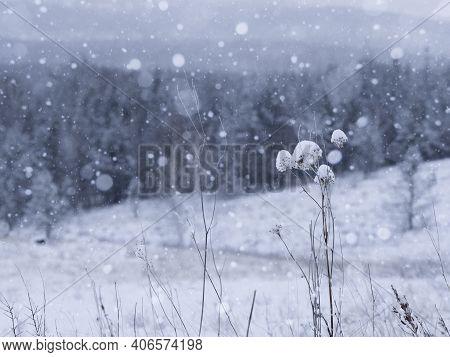 Winter Hibernation Of Nature. Dead Plants Under The Falling Snow, Close Up, Selective Focus.