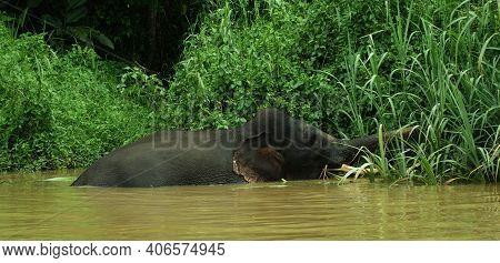 Large Male Elephant Feeding In The Kinabatangan River, Malaysia