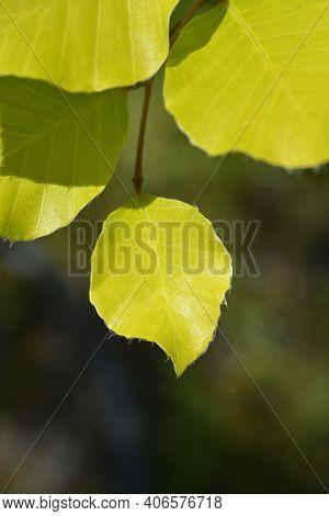 Beech Dawyck Gold Leaves - Latin Name - Fagus Sylvatica Dawyck Gold