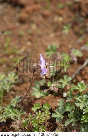 Dalmatian Cranesbill - Latin Name - Geranium Dalmaticum