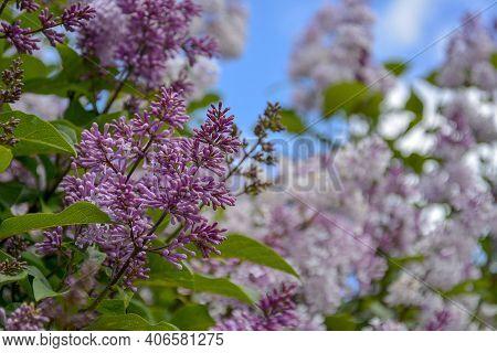 Saint Petersburg Russia June 25 2017. Pale Pinkish-violet Color Of Lilac Flowers. Fragrant Violet, P