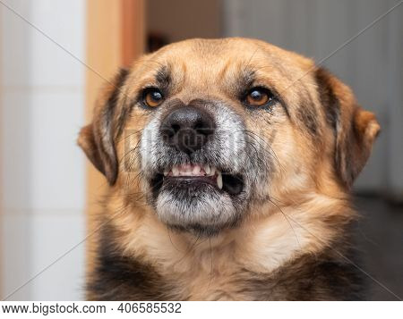 Angry Dog Showing Fangs, Dog Portrait In Profile