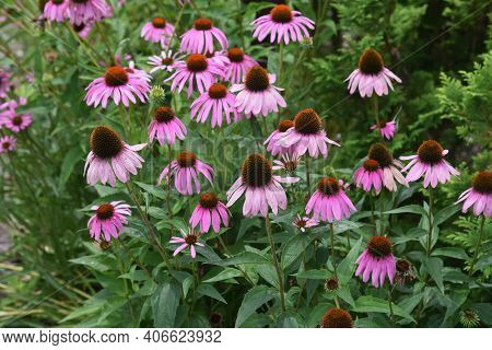 Echinacea Purpurea Is An Asteraceae Perennial Plant In Which The Center Of The Flower Rises In A Sph