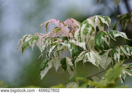 Boxelder Maple (acer Negundo) Is An Aceraceae Deciduous Tree Native To North America That Is Used Fo
