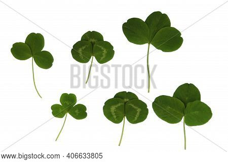 Green Plant Leaves Of Clover On A White Isolated Background, Template For Your Design, Natural Eco-f