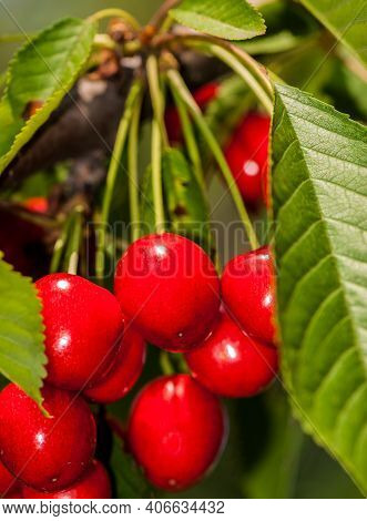 Ripe Red Cherry And Green Foliage Of The Tree. Food Ingredient.
