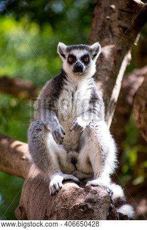 Lemur. Lemur Sits Alone. Lemur In Nature.