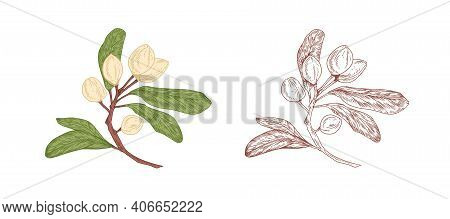 Colored Pistachio Tree Branch And Unpainted Outlined Sketch Of Pistache Plant With Ripe Nuts In Shel