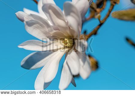 Magnolia Flower With Yellow Stamens In Spring On A Blurred Background Of Blue Sky. Shallow Depth Of