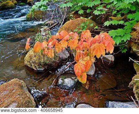 Color At The Creek - A Fall Scene Along Lake Creek - Near Suttle Lake - Or