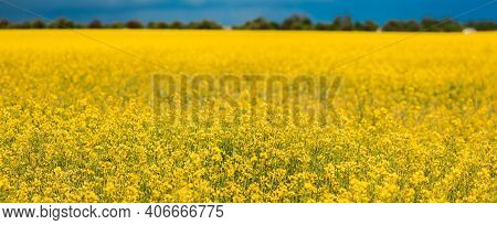 Blossom Of Canola Colza Yellow Flowers. Rapeseed, Oilseed Field Meadow. Panorama