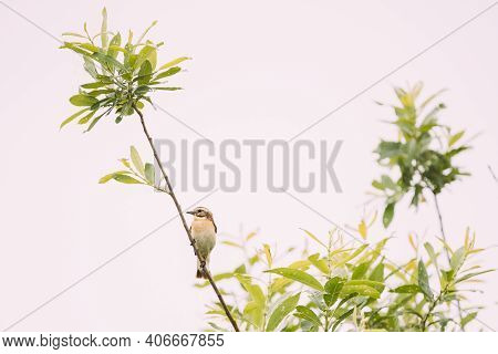 Whinchat Sitiing On Branch. Saxicola Rubetra Is A Small Migratory Passerine Bird Breeding In Europe